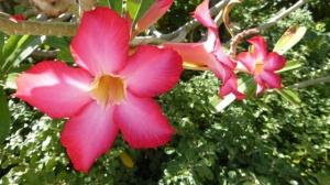 flower in saipan 2 (640x360)